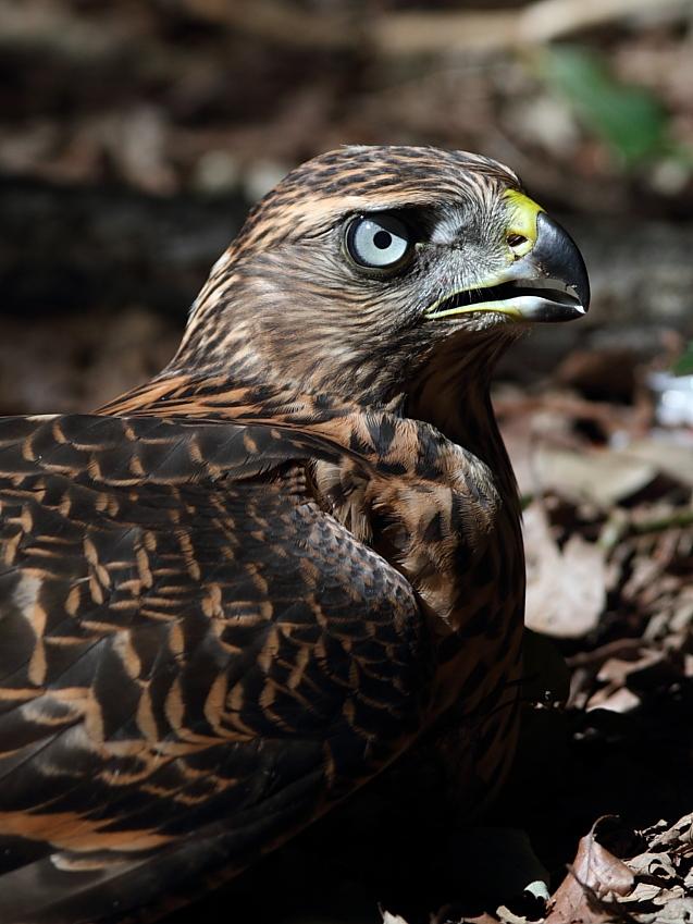 IMG_1067オオタカ幼鳥