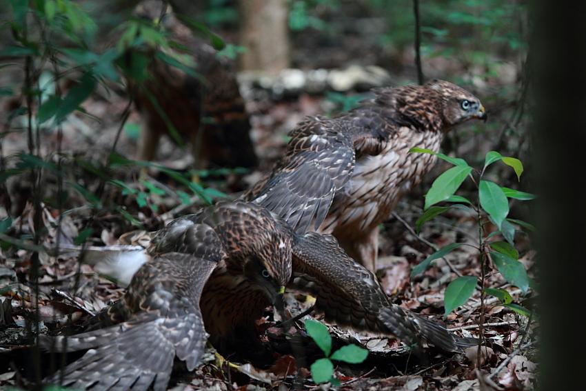 IMG_0956オオタカ幼鳥