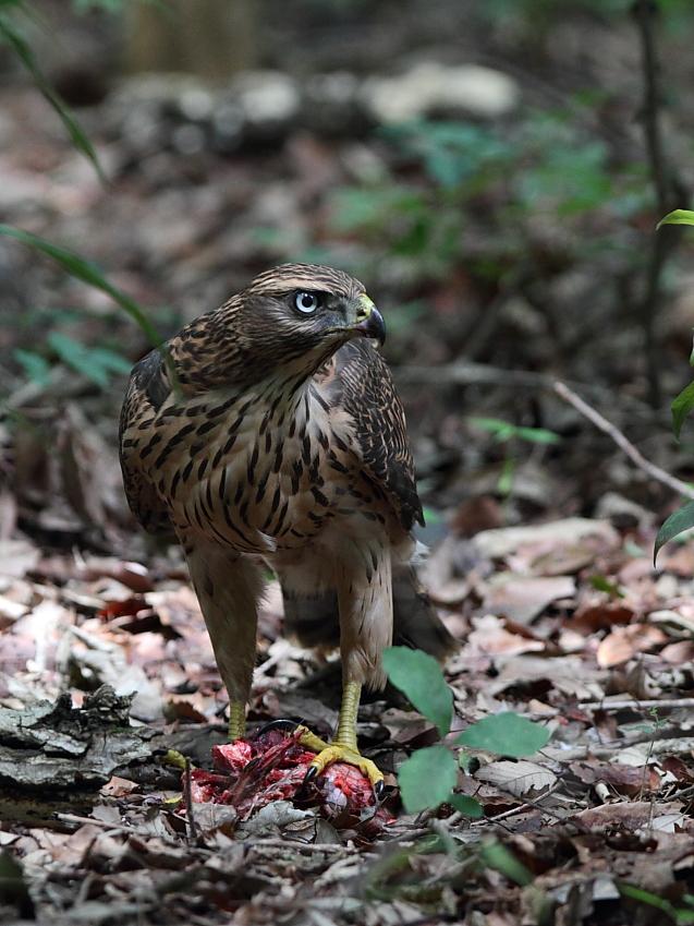 IMG_0971オオタカ幼鳥