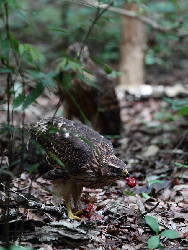 IMG_0938オオタカ幼鳥