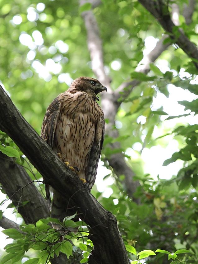 IMG_0854オオタカ幼鳥