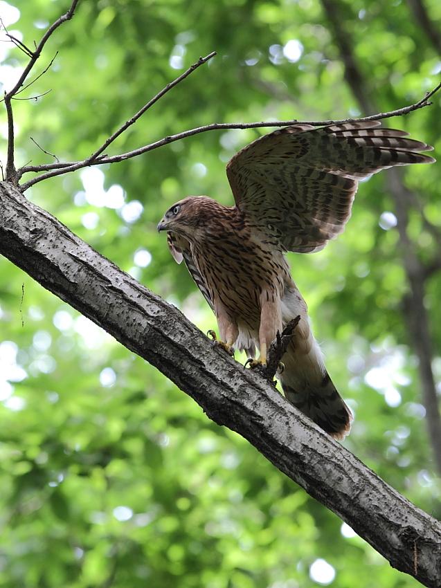 IMG_0828オオタカ幼鳥