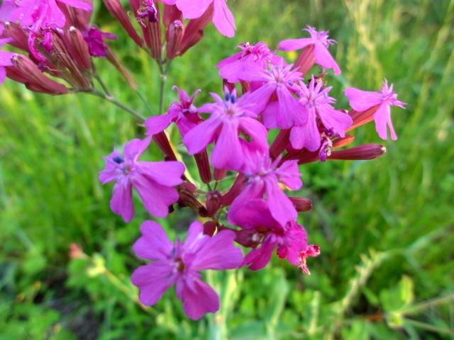 6月のピンクの花