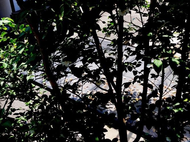 20110623夏椿 落花