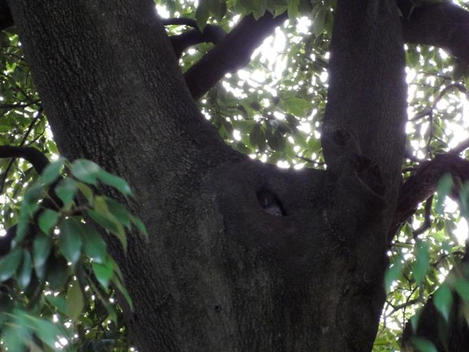 アオバズク雛巣穴から顔出しA