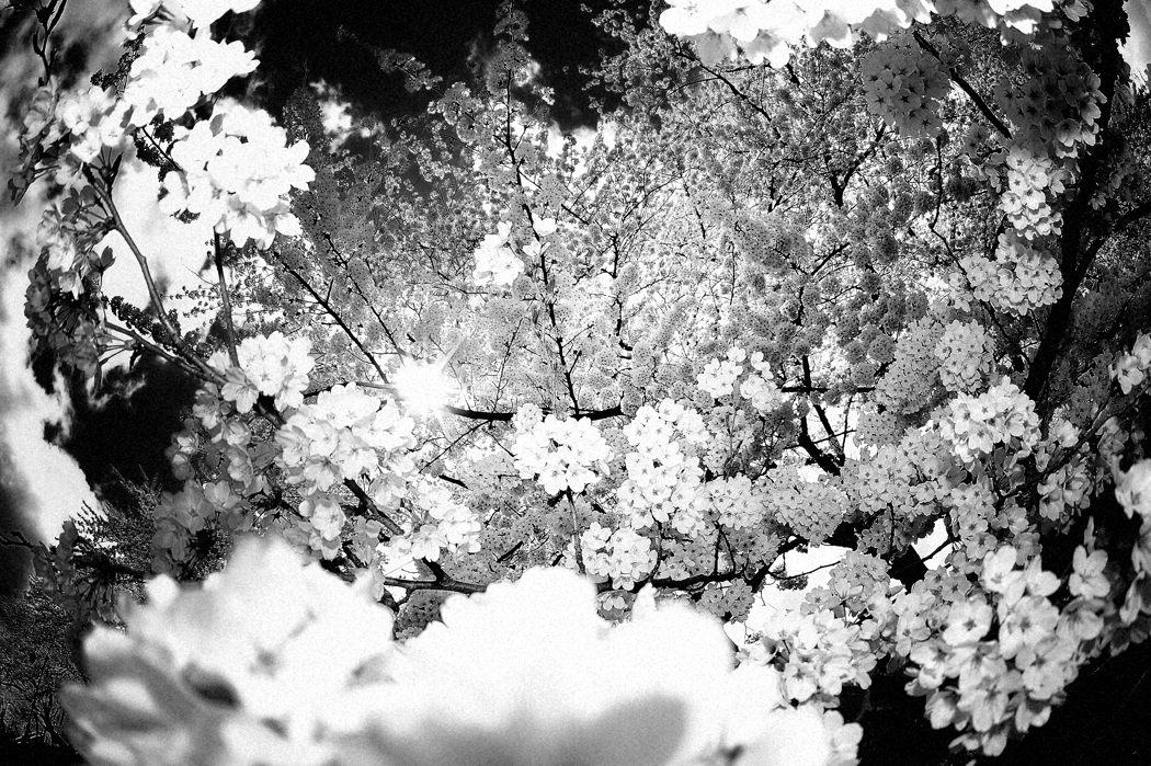 2007 桜 4.26 新屋 天グリ 054.0