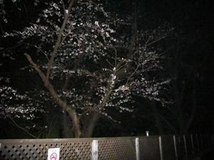 大学の桜1