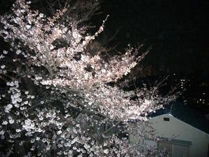 大学の桜2