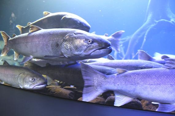 幻の淡水魚 山の水族館のイトウ