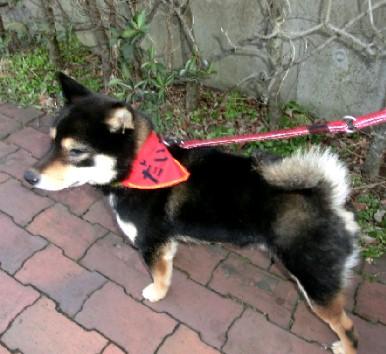 CIMG5679.柴犬だいずくんJPG