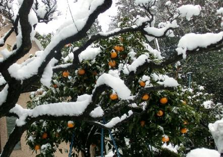 CIMG6219.雪の中のみかんの木JPG