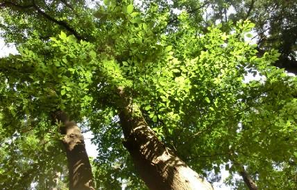 CIMG7489.青葉の樹JPG