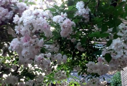 20120526161242.桜のようなバラjpg