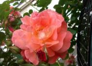 20120526161716彼女の好きなオレンジのバラ
