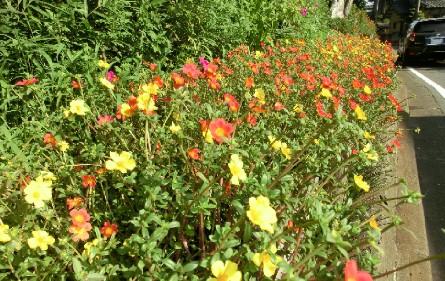 CIMG8198夏の名残の花JPG