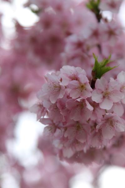 2012年 河津桜ブログ0070