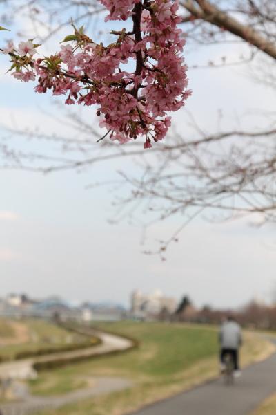 2012年 河津桜ブログ0019