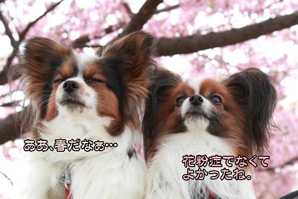 2012年 河津桜ブログ0033