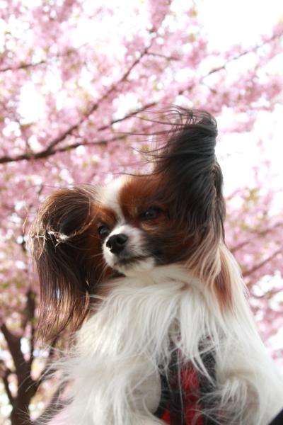 2012年 河津桜ブログ0047