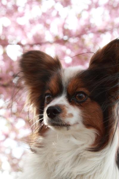 2012年 河津桜ブログ0039