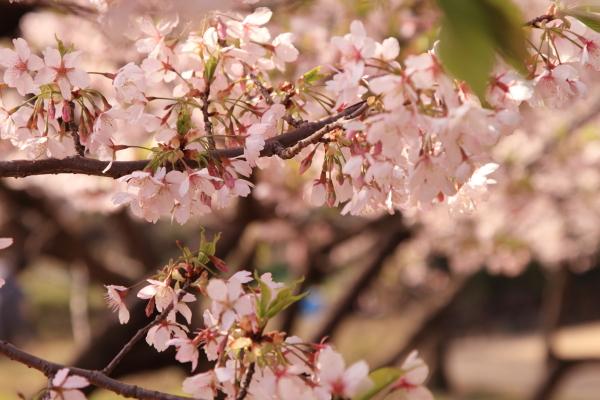 桜 ブログサイズ0078
