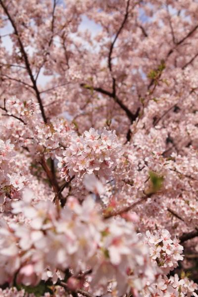 桜 ブログサイズ0072