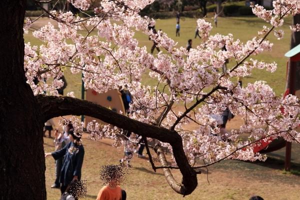 桜 ブログサイズ0045