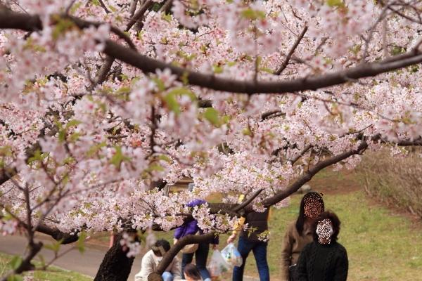 桜 ブログサイズ0025