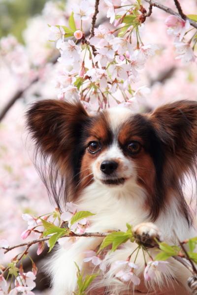 桜 ブログサイズ0028
