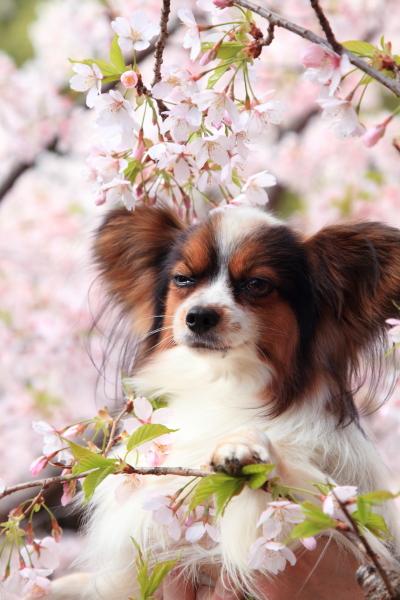 桜 ブログサイズ0026