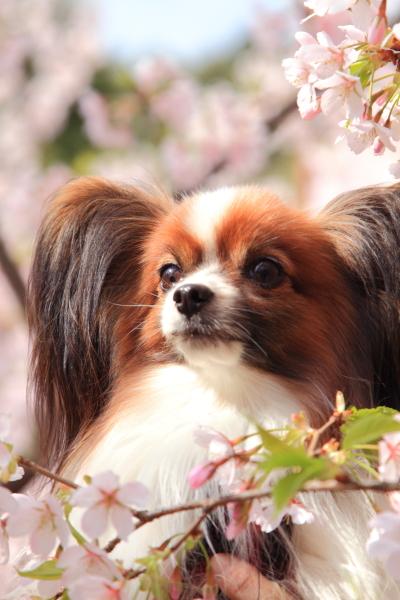 桜 ブログサイズ0033
