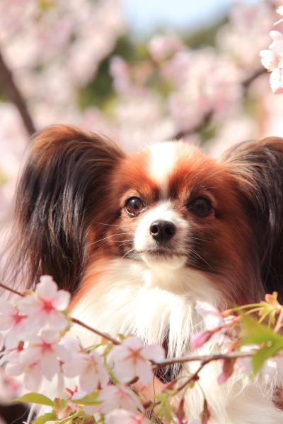 桜 ブログサイズ0035