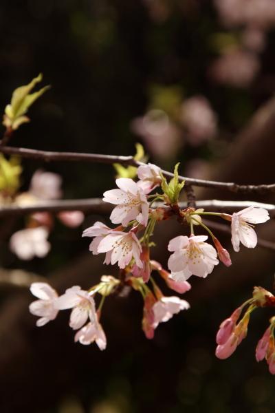 桜 ブログサイズ0020