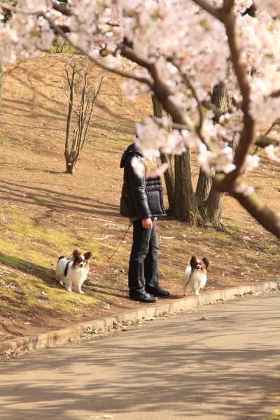 桜 ブログサイズ0080