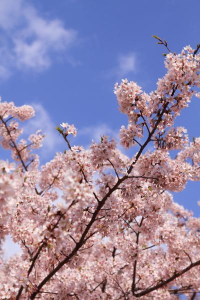 桜 ブログサイズ0074