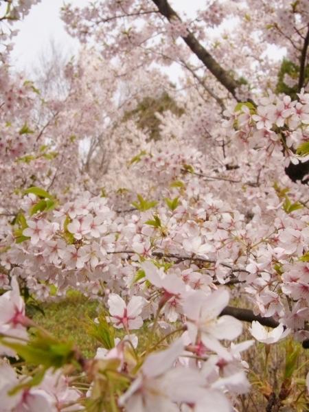 桜 ブログサイズ0030