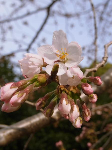 桜 ブログサイズ0015