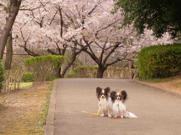 桜 ブログサイズ0039
