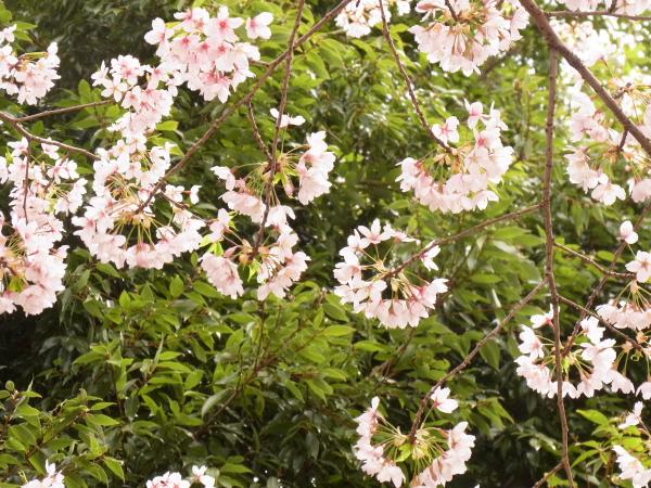 桜 ブログサイズ0040