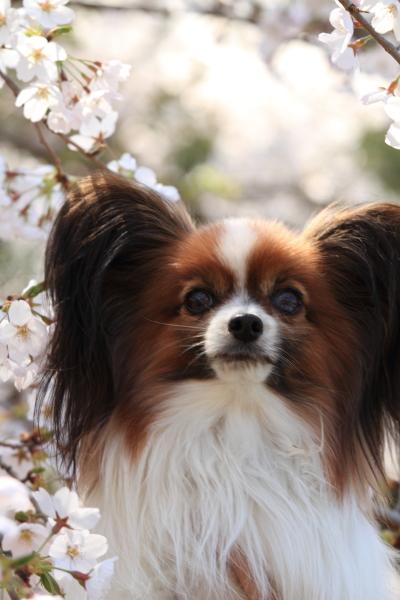 お花見 2012ブログサイズ0032