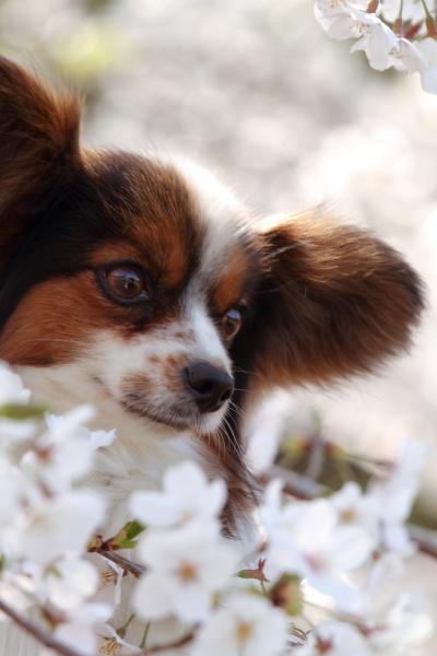 お花見 2012ブログサイズ0037