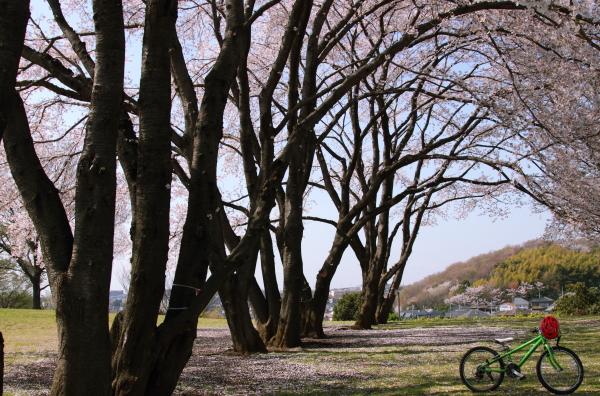 八幡山 さくらブログ0005
