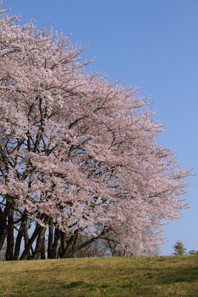 八幡山 さくらブログ0063