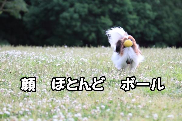 シロツメグサ ブログ0077