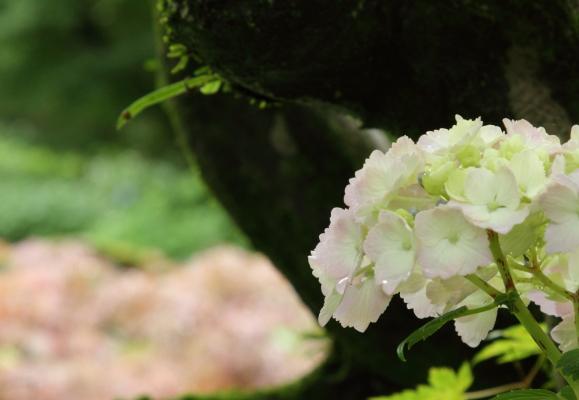 浄慶寺 あじさいブログ0012