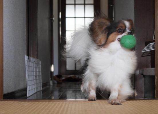 家の中の飛行犬 ブログ0007