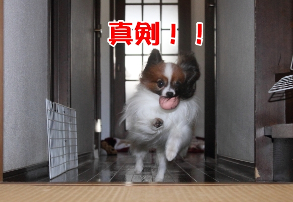 家の中の飛行犬 ブログ0006