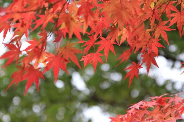 2012_12_02 紅葉0007