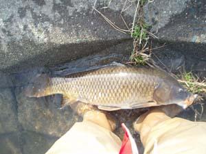 相模川の鯉