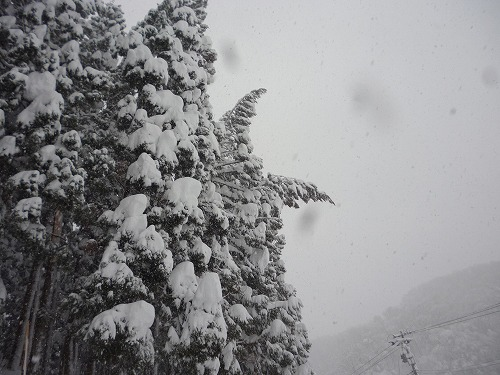 雪の重みで今にも折れそうな写真